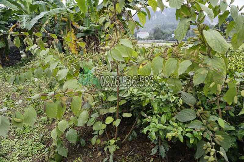 giới thiệu về hình dáng cây an xoa