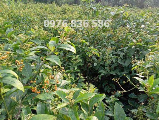 Uống nước cây xạ đen uống tan hạch ở Vú