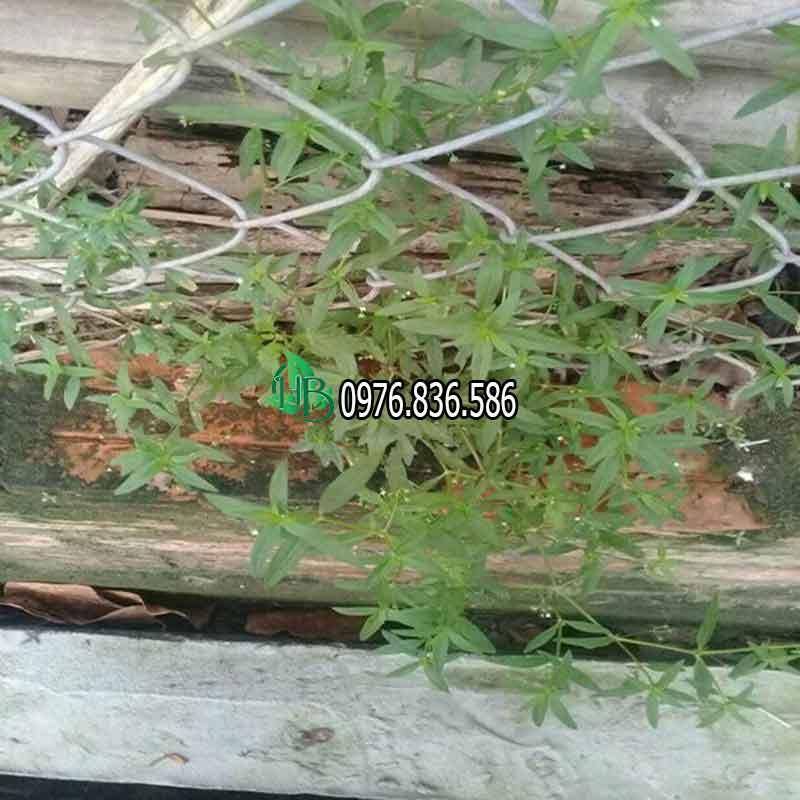 Cây bạch hoa xà thiệt thảo 1