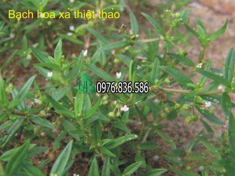 Cây bạch hoa xà thiệt thảo 3