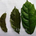 Hình ảnh thân lá cây xạ đen Hòa Bình