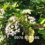 Mô tả chi tiết Hoa của Cây Xạ Đen