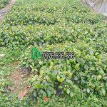 Mua bán cây giống xạ đen tại Hà Nội