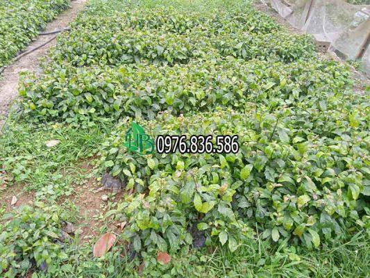 Mua bán cây giống xạ đen tại Hà Nội 3