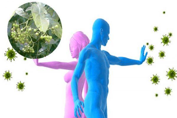Bài thuốc nâng cao hệ miễn dịch từ cây xạ đen