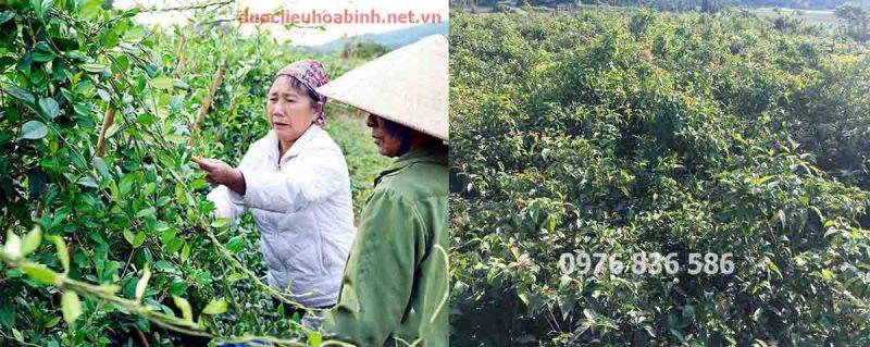 Vùng trồng dây thìa canh và cây xạ đen tại Hòa Bình