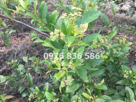 Hoa cây xạ đen