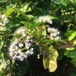 Hoa cây xạ đen có tác dụng gì?