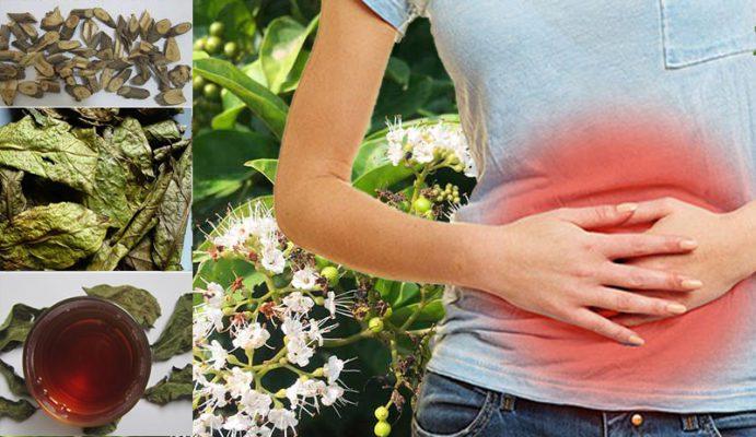 Cây xạ đen xạ đen hỗ trợ điều trị viêm loét dạ dày được không