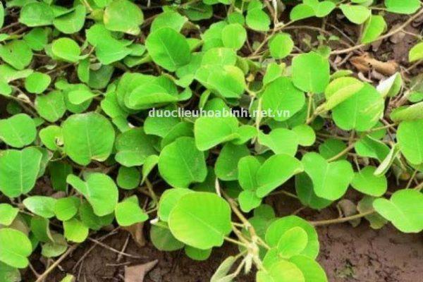 Cách trồng và chăm sóc cây kim tiền thảo