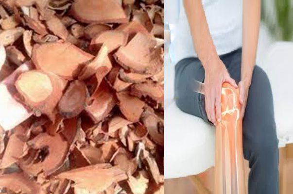 Cây cỏ máu hỗ trợ điều trị các bệnh về xương khớp