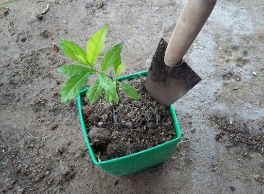 Cách trồng cây xạ đen trong chậu