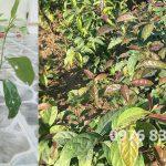Cách trồng cây xạ đen bằng cành