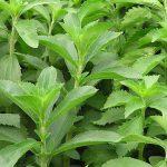 Cây cỏ ngọt giúp chăm sóc da