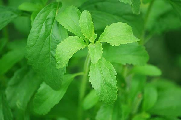 Cây cỏ ngọt hỗ trợ điều trị cho người đái tháo đường