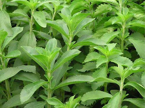 Cây cỏ ngọt hỗ trợ điều trị viêm lợi, chảy máu chân răng