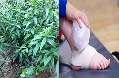 Tác dụng cây xương khỉ (Bìm bịp) điều trị bong gân, gãy xương, sưng đau