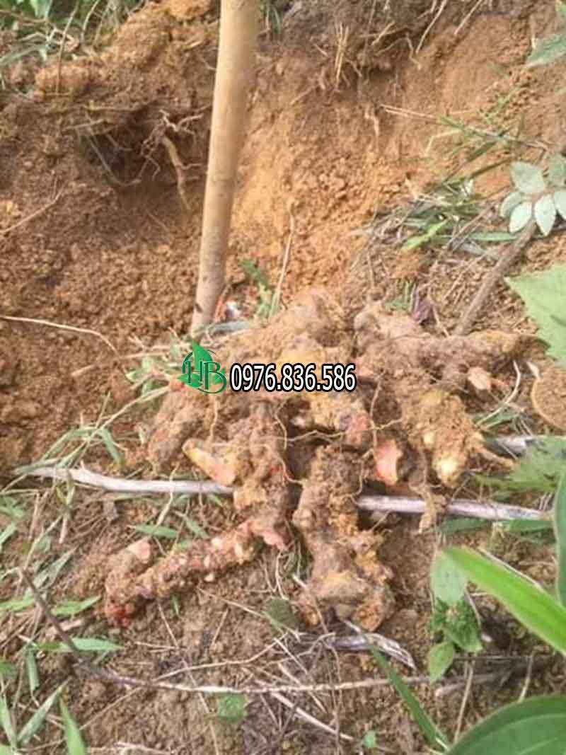 thu hái củ thổ phục linh rừng