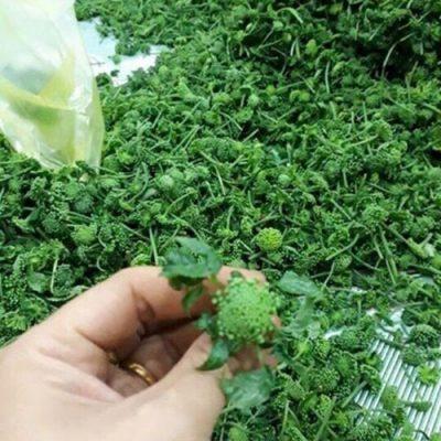 Cách bảo quản nụ hoa tam thất