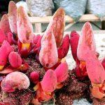 Nấm ngọc cẩu bồi dưỡng cơ thể tăng cường sinh lực