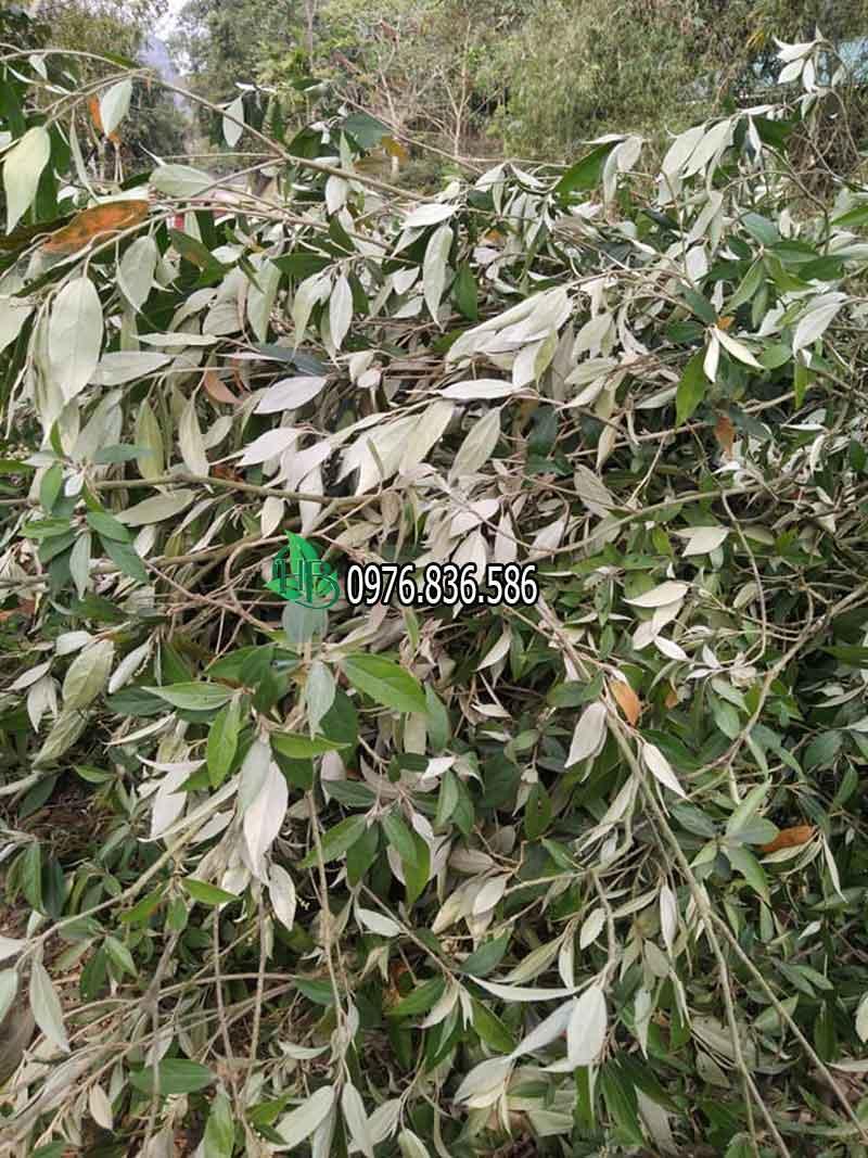 Cách dùng cây thảo dược khổ sâm