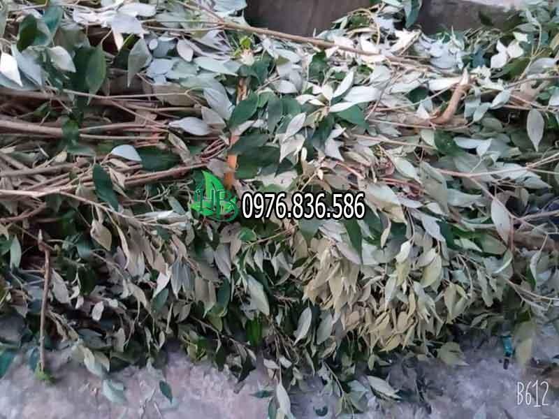 Hình ảnh cây thảo dược khổ sâm