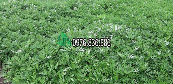 Hình ảnh cây thảo dược ngải cứu