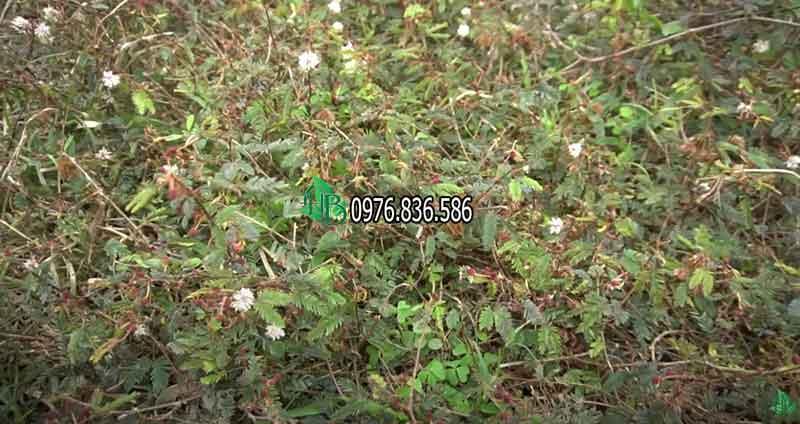 Hình ảnh cây thảo dược xấu hổ