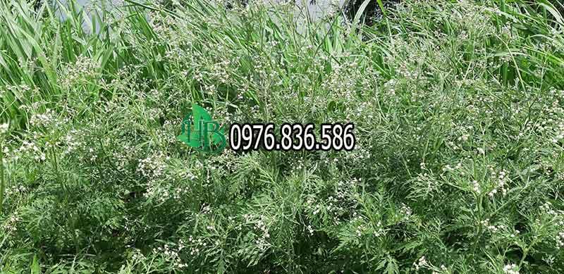Hoa cây thảo dược ngải cứu