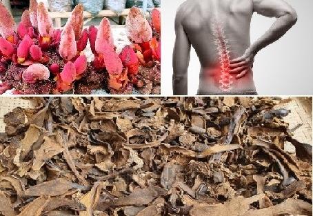 Nấm ngọc cẩu hỗ trợ điều trị đau lưng mỏi gối