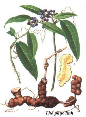 Tác dụng của vị thuốc quý mang tên thổ phục linh