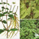 Cách thu hoạch và bảo quản cây cỏ xước