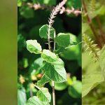 10 bài thuốc từ cây cỏ xước giúp cải thiện sức khỏe