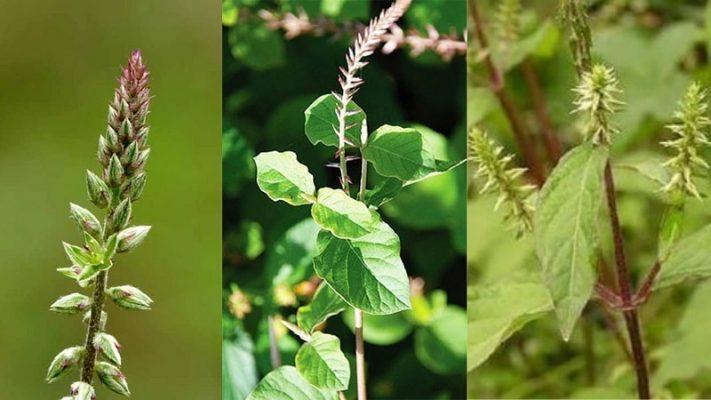 10 bài thuốc từ cỏ xước