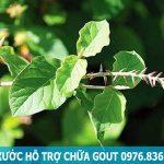 Sử dụng cây cỏ xước hỗ trợ điều trị bệnh Gout