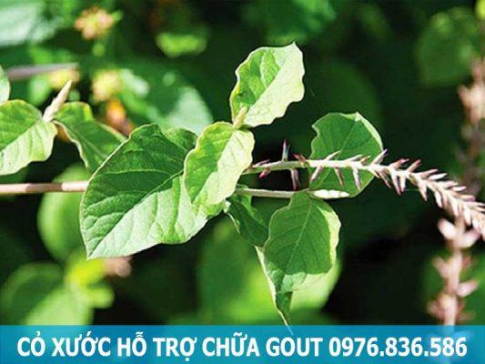 Sử dụng cây cỏ xước hỗ trợ điều trị bệnh Gout 1