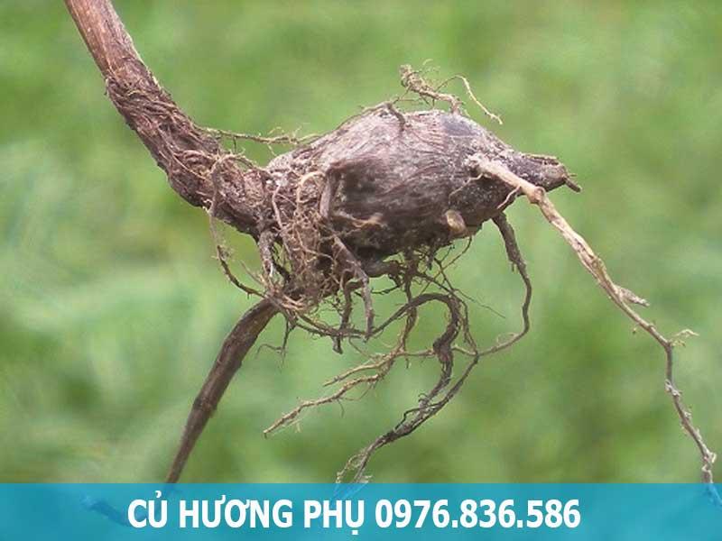 Củ Hương phụ (cỏ gấu)