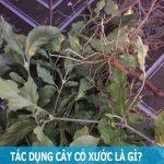 Tác dụng phụ của cỏ xước là gì?