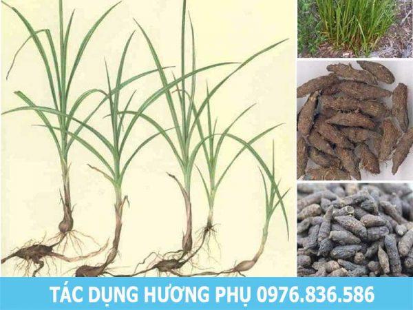 Tác dụng Hương phụ (cỏ gấu)