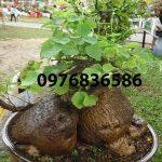 Hỗ trợ điều trị bệnh Gout bằng cây (củ) bình vôi