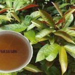 Tại Việt Nam (cây) lá đơn đỏ xuất hiện ở đâu ?