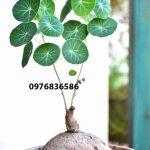 Lưu ý ngộ độc khi sử dụng cây (củ) bình vôi