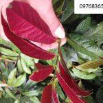 Hỗ trợ điều trị thấp khớp với (cây) lá đơn đỏ