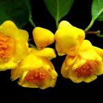 Hiện trạng các loại trà hoa vàng Tam Đảo