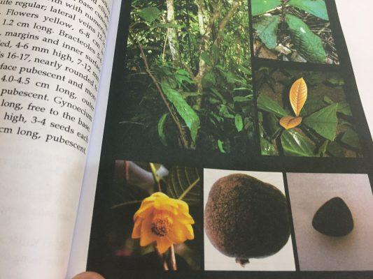 Mẫu chuẩn chọn cây trà hoa vàng Hakoda Tam Đảo