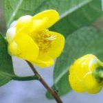 Mẫu chọn lọc trà hoa vàng Tam Đảo