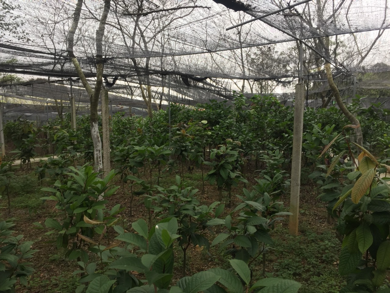 Nhà vườn cung cấp cây trà hoa vàng Tam Đảo