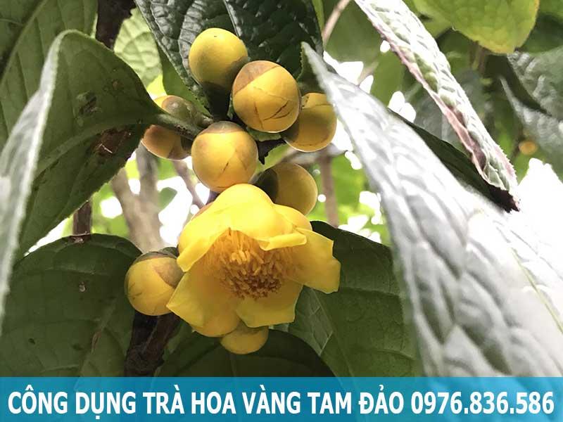 Công dụng trà hoa vàng Tam Đảo