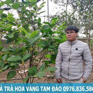 Giá cây trà hoa vàng Tam Đảo