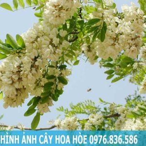 Hình ảnh cây hoa hòe